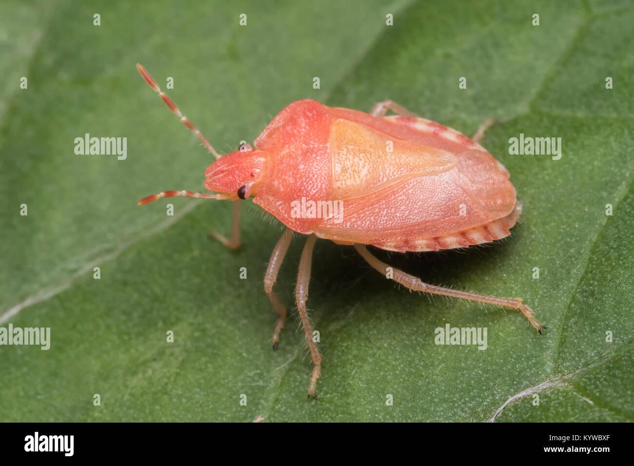 Recién muda adulto Peludo (Dolycoris baccarum Shieldbug) descansando ...
