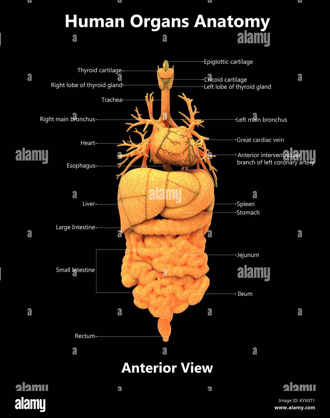 Único Diagrama De La Anatomía Cerdo Fetal Motivo - Anatomía de Las ...