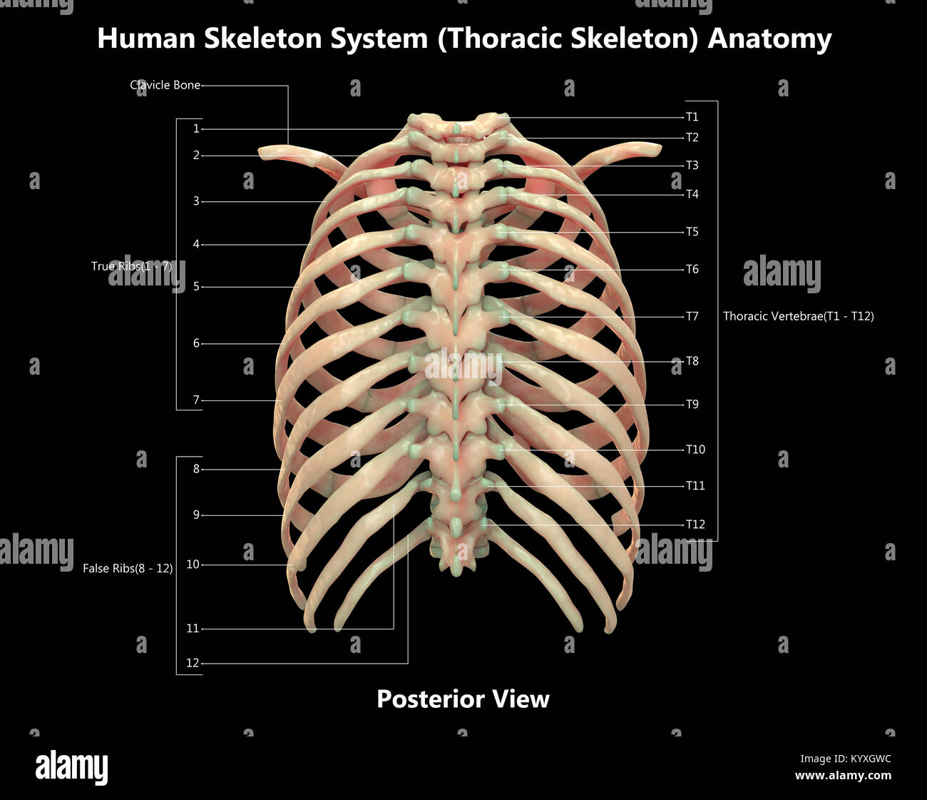 Anterior And Posterior View Imágenes De Stock & Anterior And ...