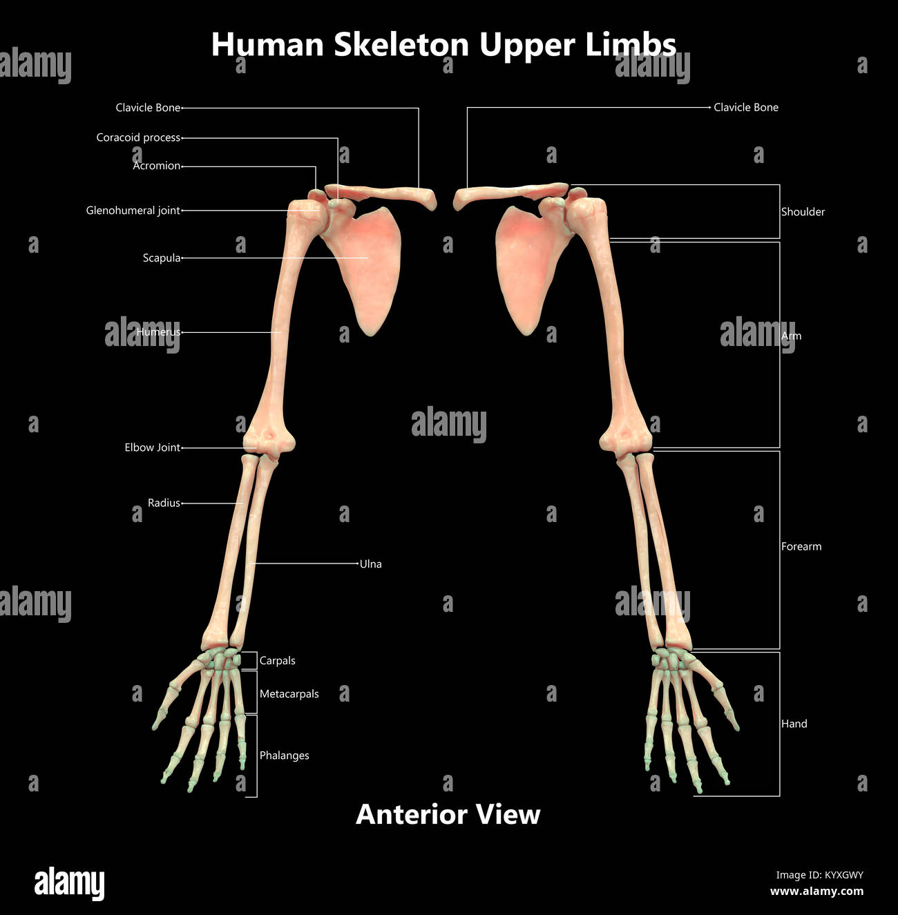 Esqueleto Humano extremidades superiores del sistema de diseño de ...