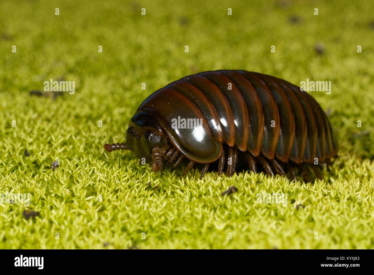 Myriapods Imágenes De Stock & Myriapods Fotos De Stock - Alamy
