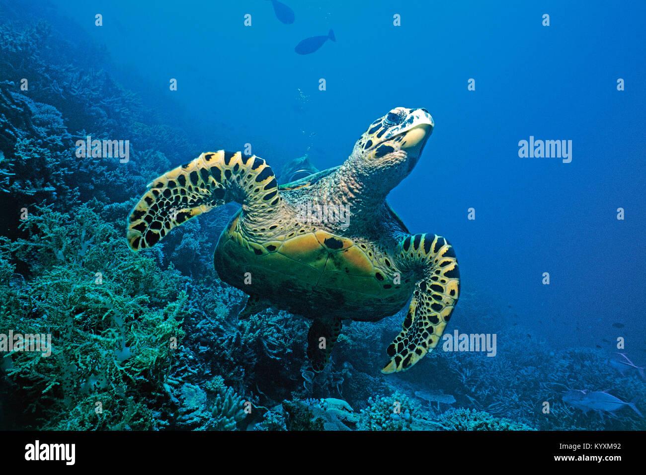 La tortuga carey (Eretmochelys imbricata), Islas Maldivas, océano Índico, Asia Foto de stock