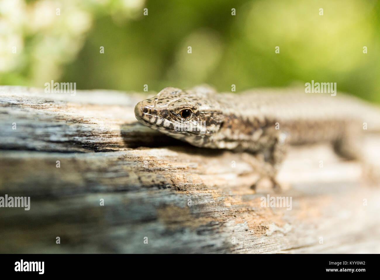 Close-up de lizard en madera Foto de stock