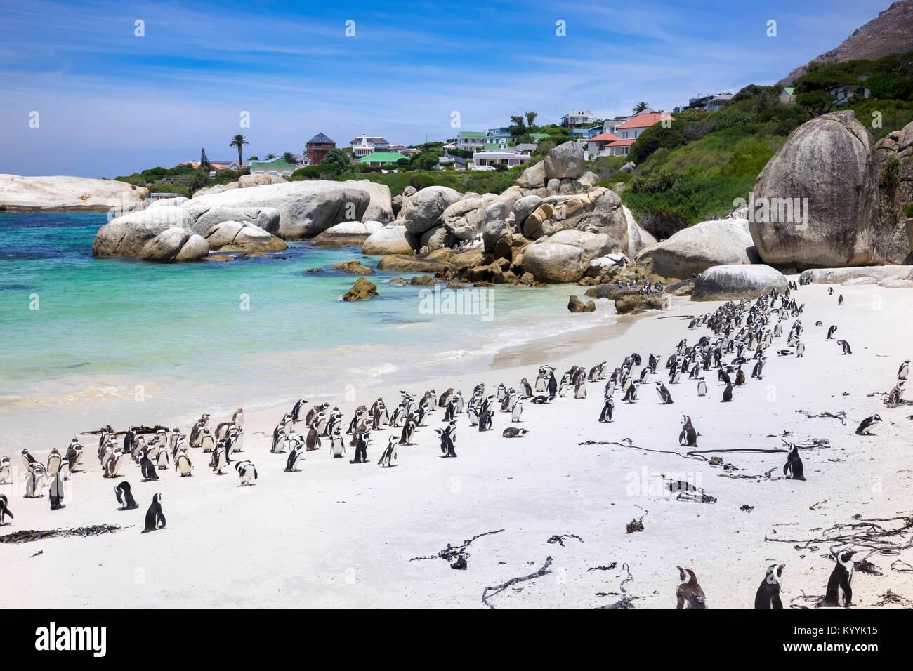 Bahía de cantos rodados de la colonia de pingüinos Jackass africanos de pingüinos en la playa Boulders, Imagen De Stock