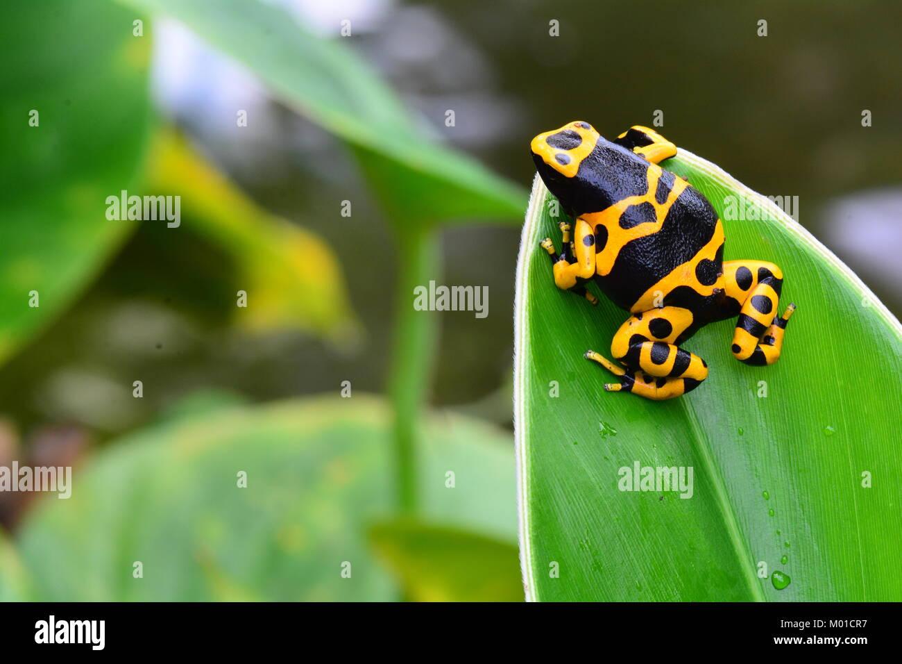 Un bonito color de abejorros poison dart frog descansa sobre una hoja vegetal en los jardines. Foto de stock