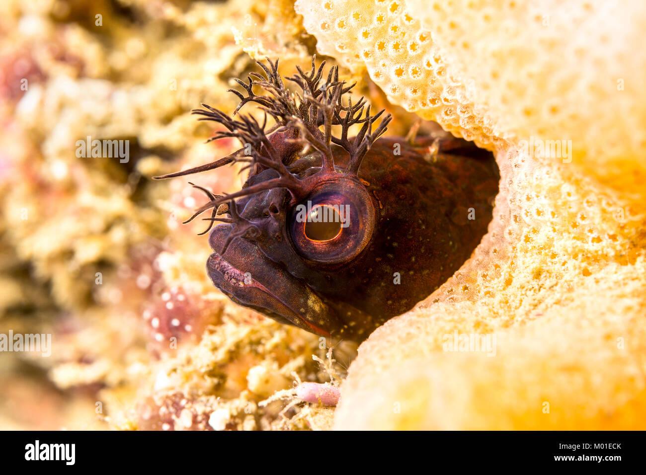 Un pequeño pez blenny fringehead peeks de un agujero en un arrecife en el sur de California. Los animales son Imagen De Stock