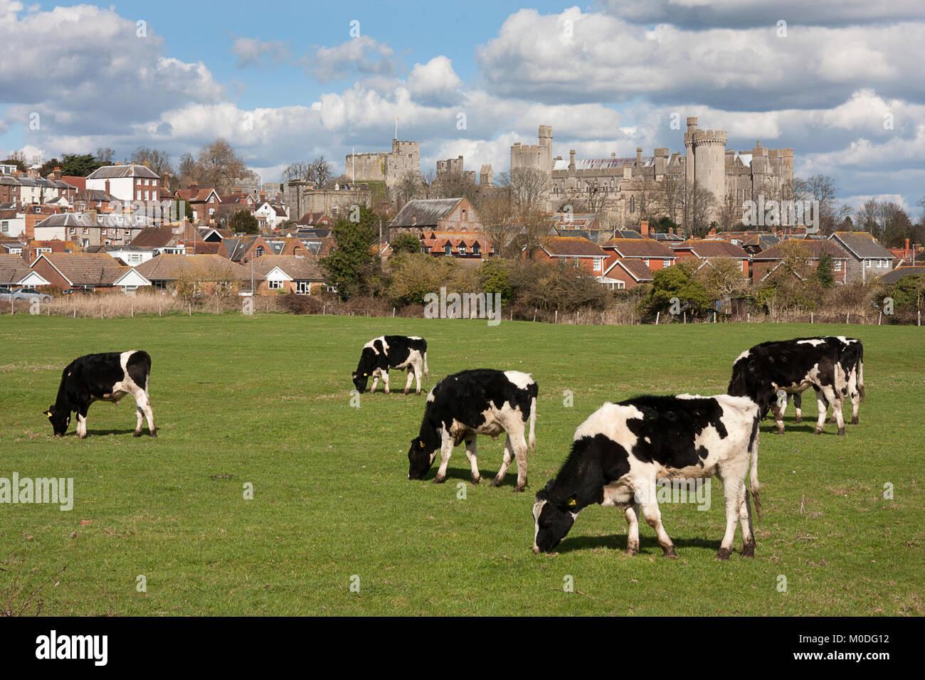 El frisón vacas que pastan en pastos en Arundel con el castillo detrás, West Sussex, Inglaterra Foto de stock