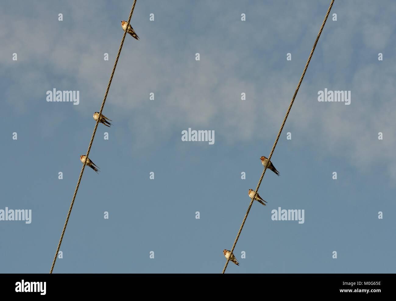 Bienvenido golondrinas (Hirundo neoxena) posado sobre líneas eléctricas en las primeras horas de la mañana, Imagen De Stock