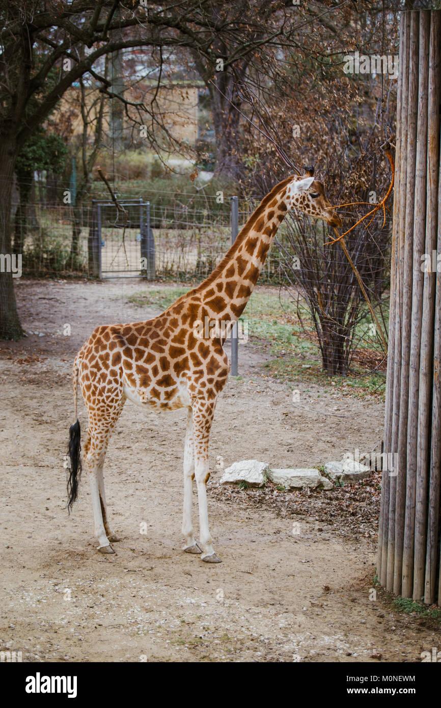 Kordofan jirafa come las hojas de una rama atado a un poste metálico ...