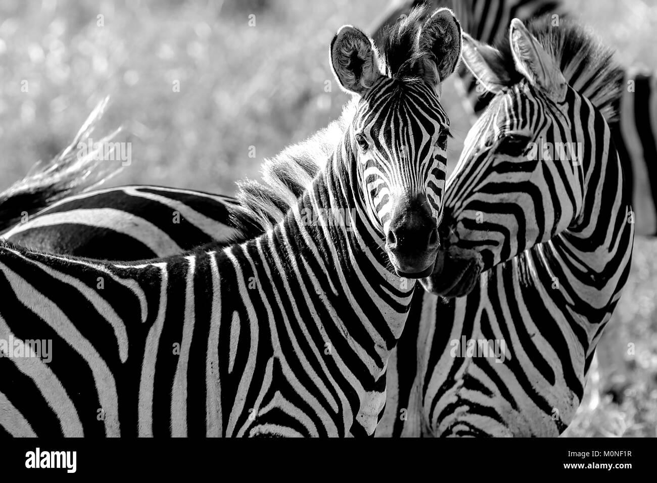 Dos Zebra tocando las narices con otros zebra detrás contra de pastizales en blanco y negro de fondo Imagen De Stock
