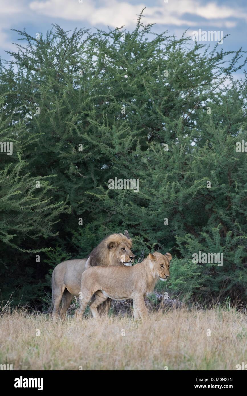 Adultos y adolescentes varones León (Panthera leo),Savuti,Parque Nacional Chobe,distrito de Chobe,Botswana Imagen De Stock