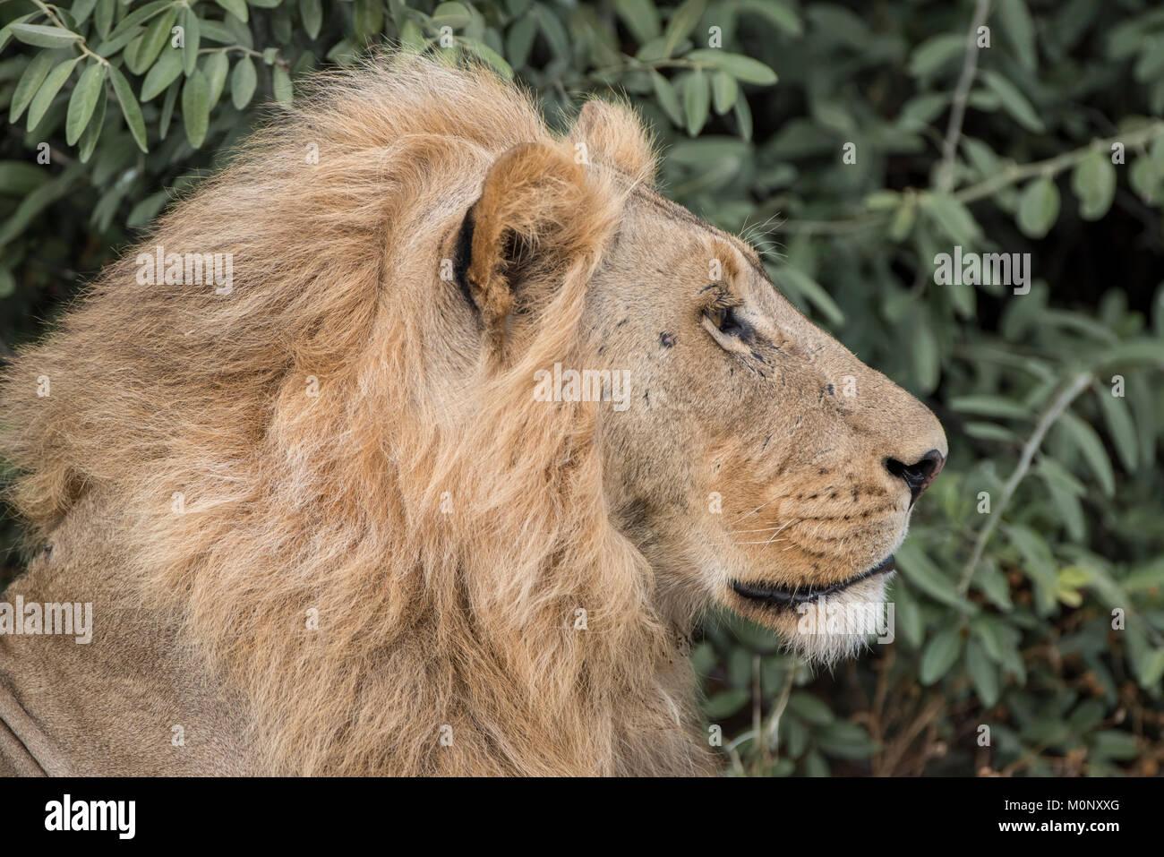 León (Panthera leo),macho,retrato,Vista lateral,Savuti,Parque Nacional Chobe,distrito de Chobe,Botswana Imagen De Stock