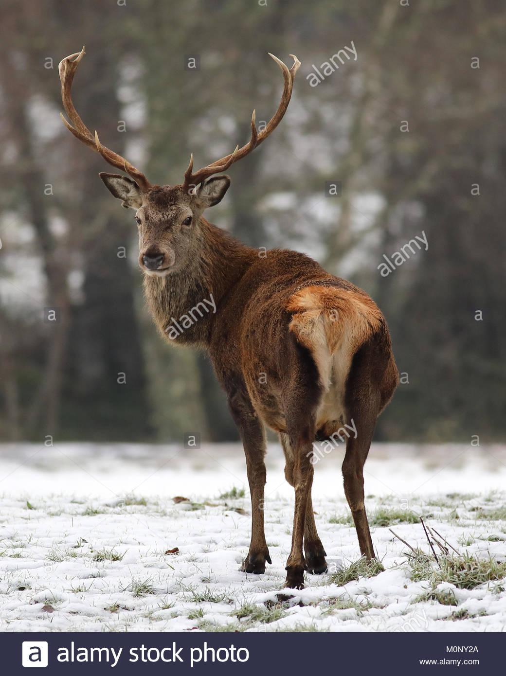 Un Ciervo ciervo en un campo cubierto de nieve en las Highlands escocesas. Foto de stock