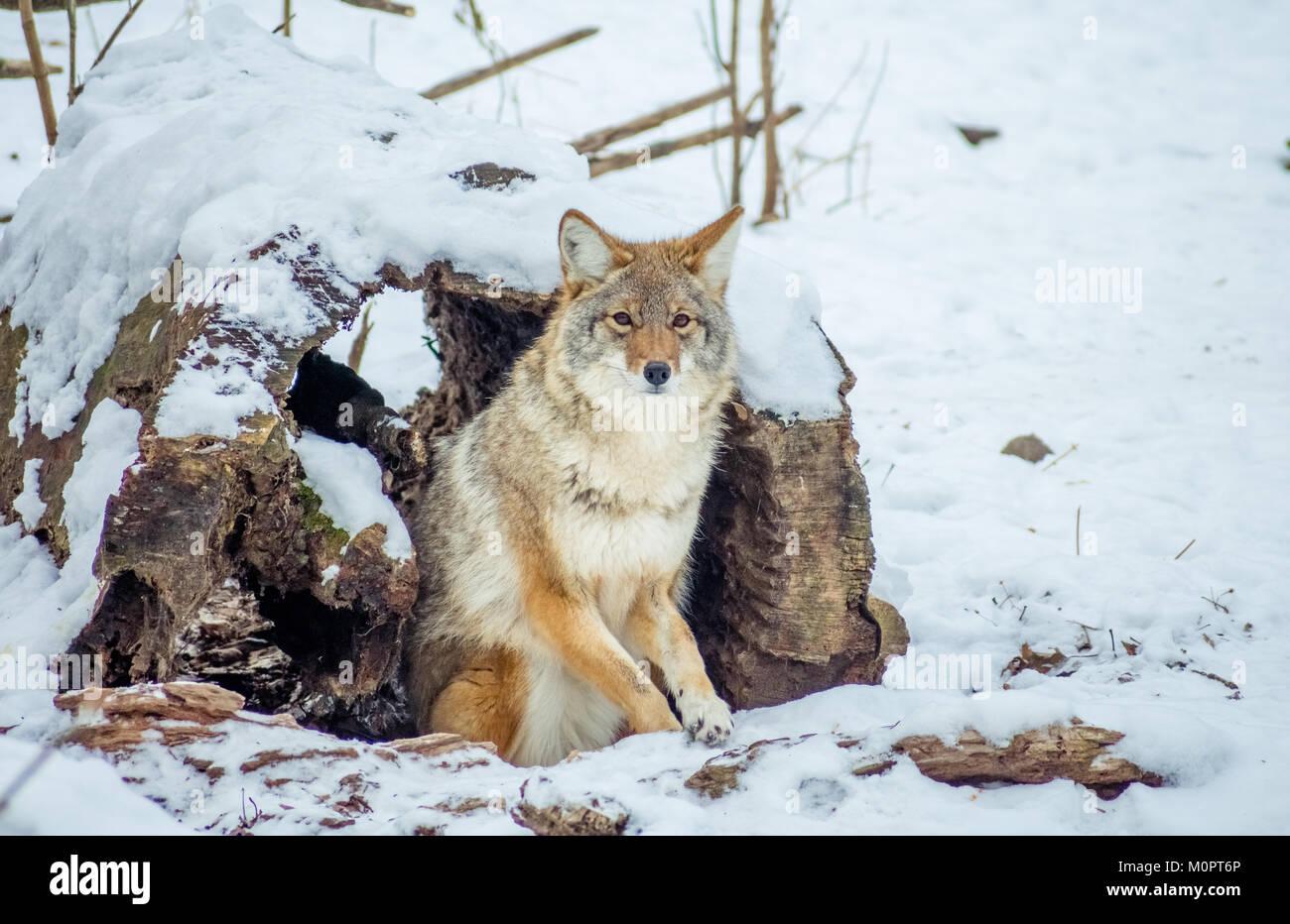 Coyote aislado mirando a la cámara Imagen De Stock