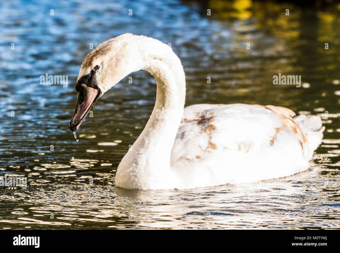 Cisne en el lago octogonal, Stowe, Buckinghamshire, REINO UNIDO Foto de stock
