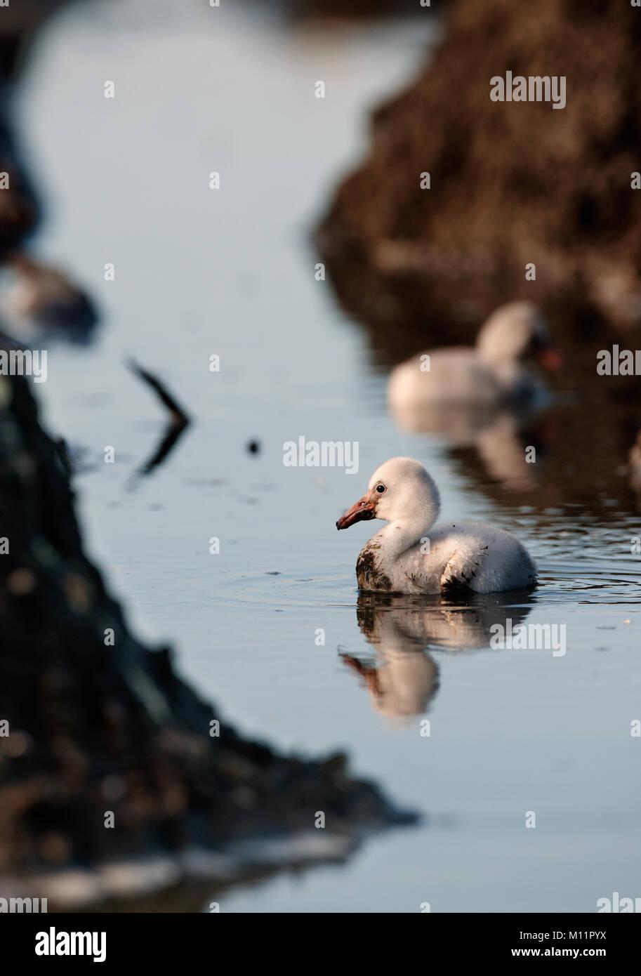 Bebé de aves del Caribe Flamingo. Una cálida y difusa bebé de aves del Caribe flamingo en nidos. Imagen De Stock