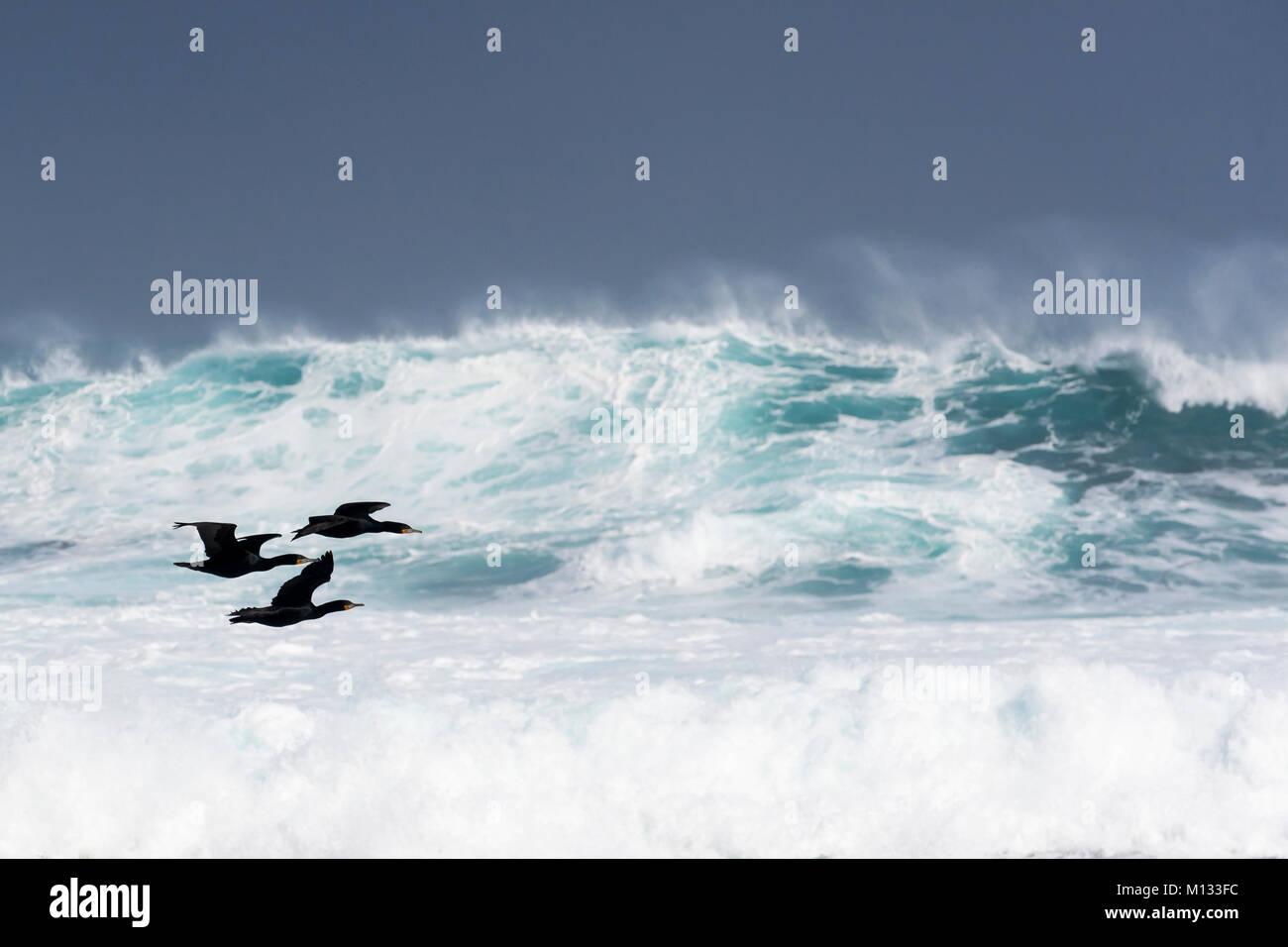 Tres Cape cormoranes (Phalacrocorax capensis) volando sobre mar agitado, el Cabo de la Buena Esperanza, Península, Sudáfrica Foto de stock