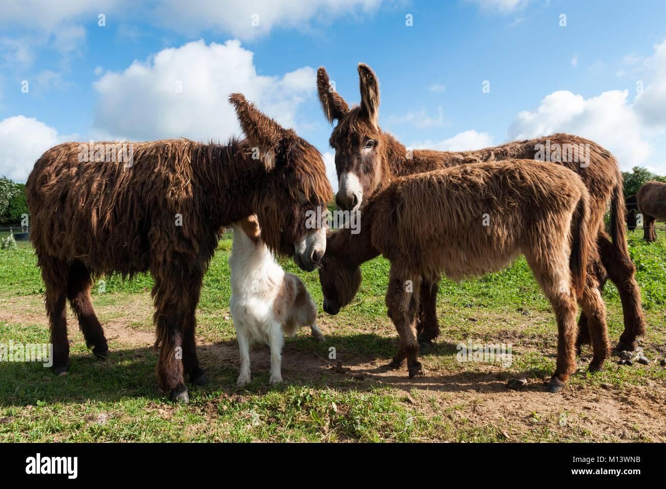 Francia, Deux Sevres, Saint Georges de Rex, gallo granja con burro, Poitou burros en el Marais Poitevin, Venise Imagen De Stock