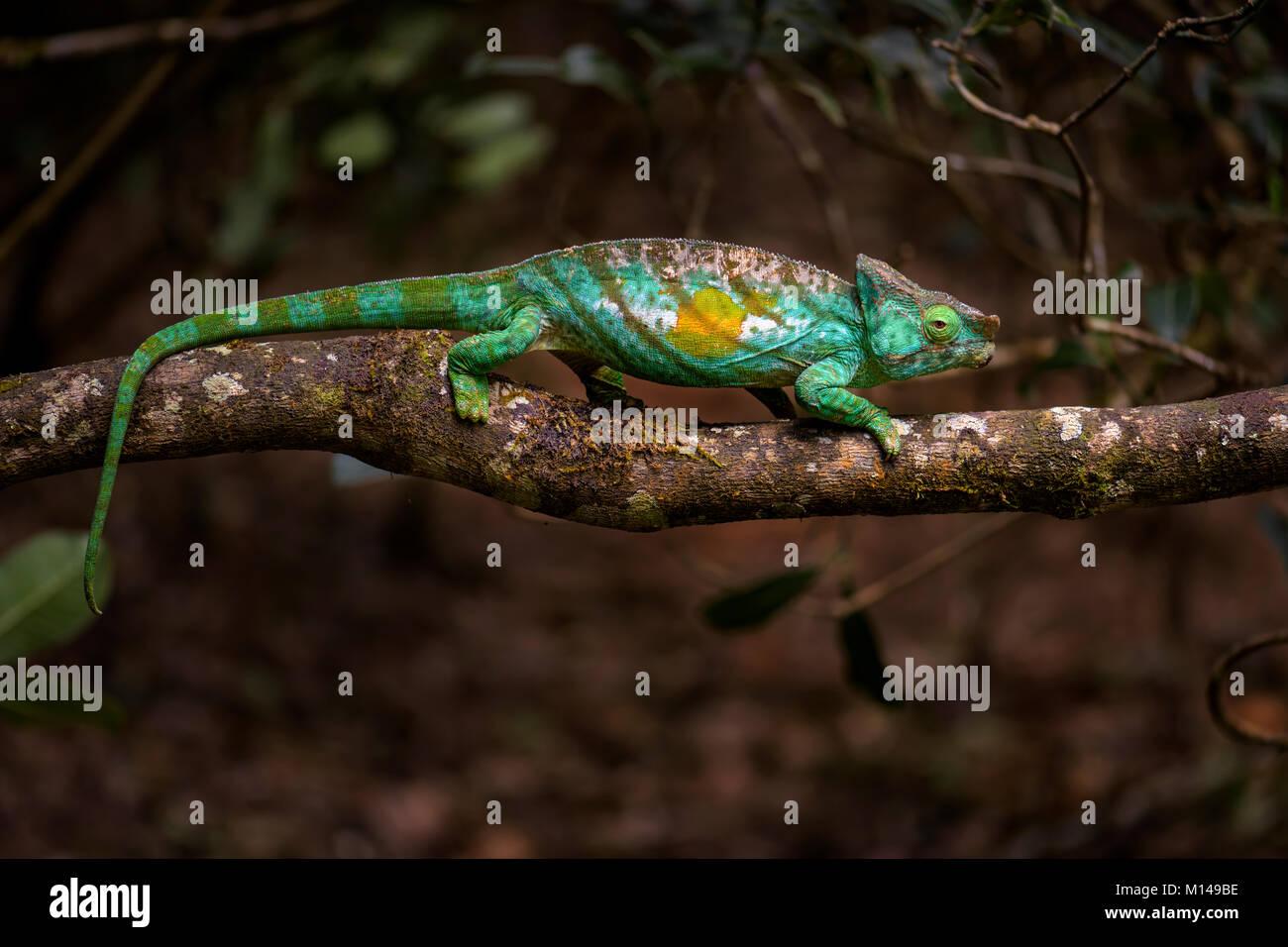 Parson's Chameleon - Calumma parsonii, bosque lluvioso la costa oriental de Madagascar. Colorida lagartija endémica. Imagen De Stock