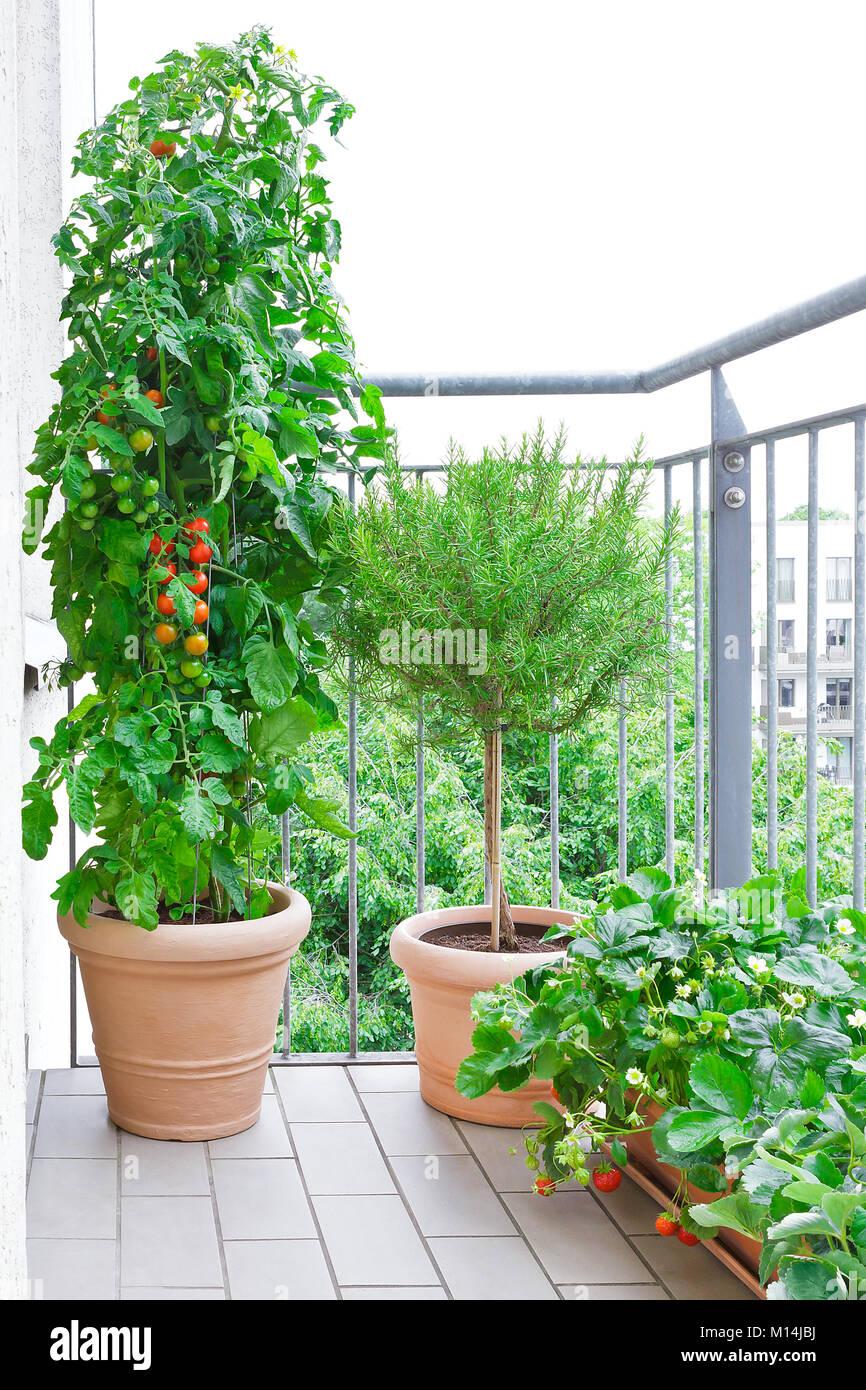 Macetas de terracota con una planta de tomate un rbol de for Jardineria y plantas