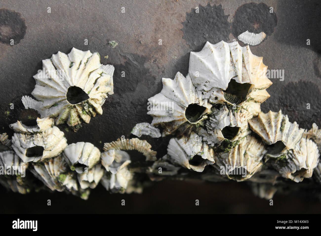Acorn percebes Balanus balanus Foto de stock