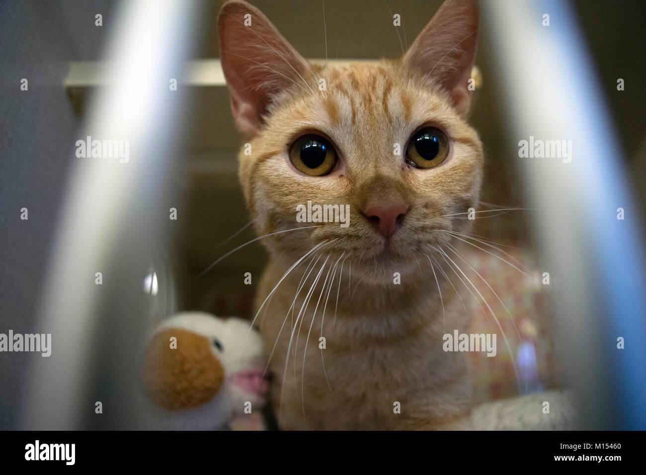 Un gatito espera aprobación en el refugio local de animales. Imagen De Stock
