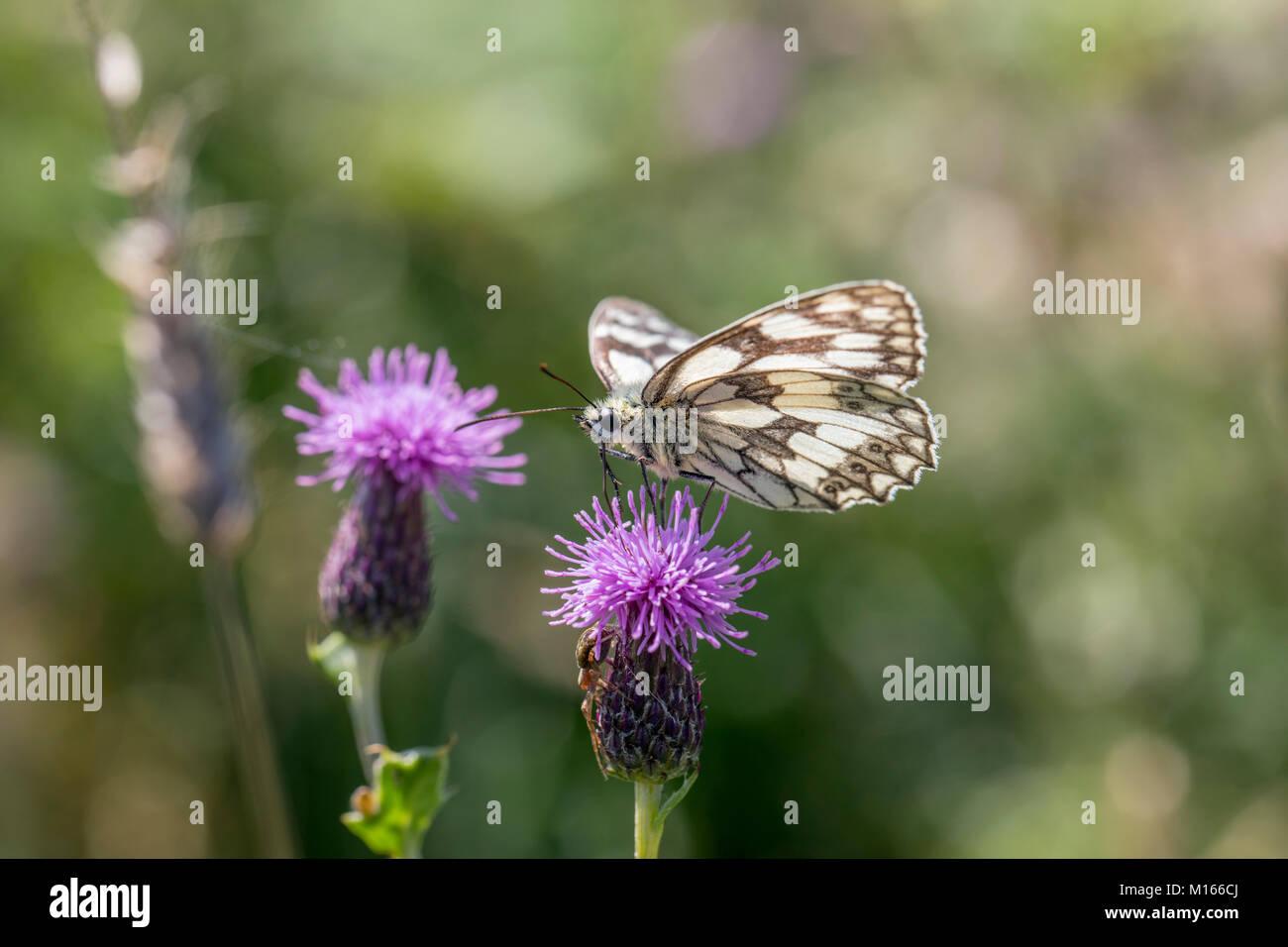 Mariposa de mármol blanco; Melanargia galathea solo en Thistle Cornwall; UK Foto de stock