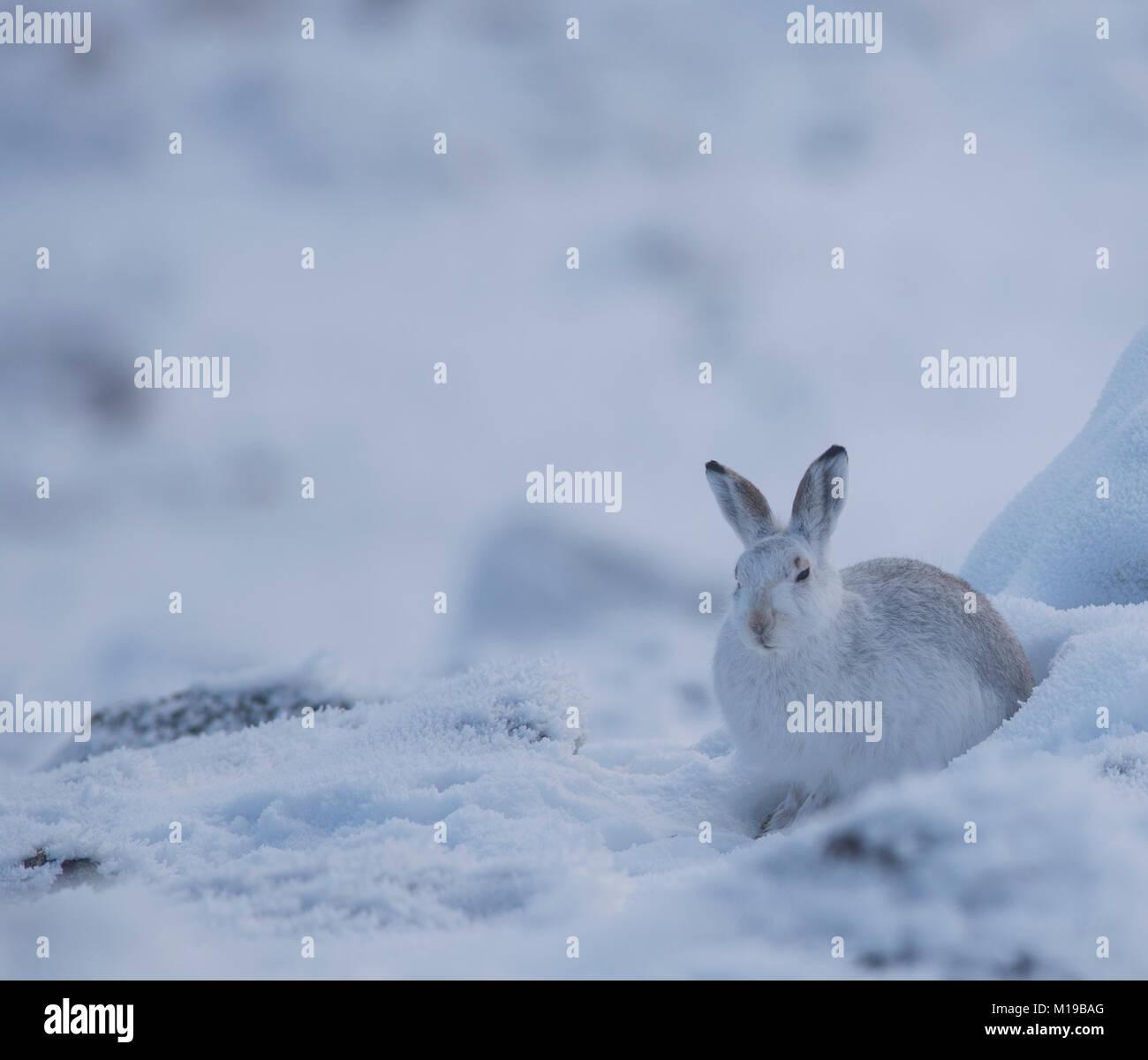 Mountain Liebre Lepus timidus en su bata blanca de invierno en la nieve sobre una montaña de Escocia. Imagen De Stock
