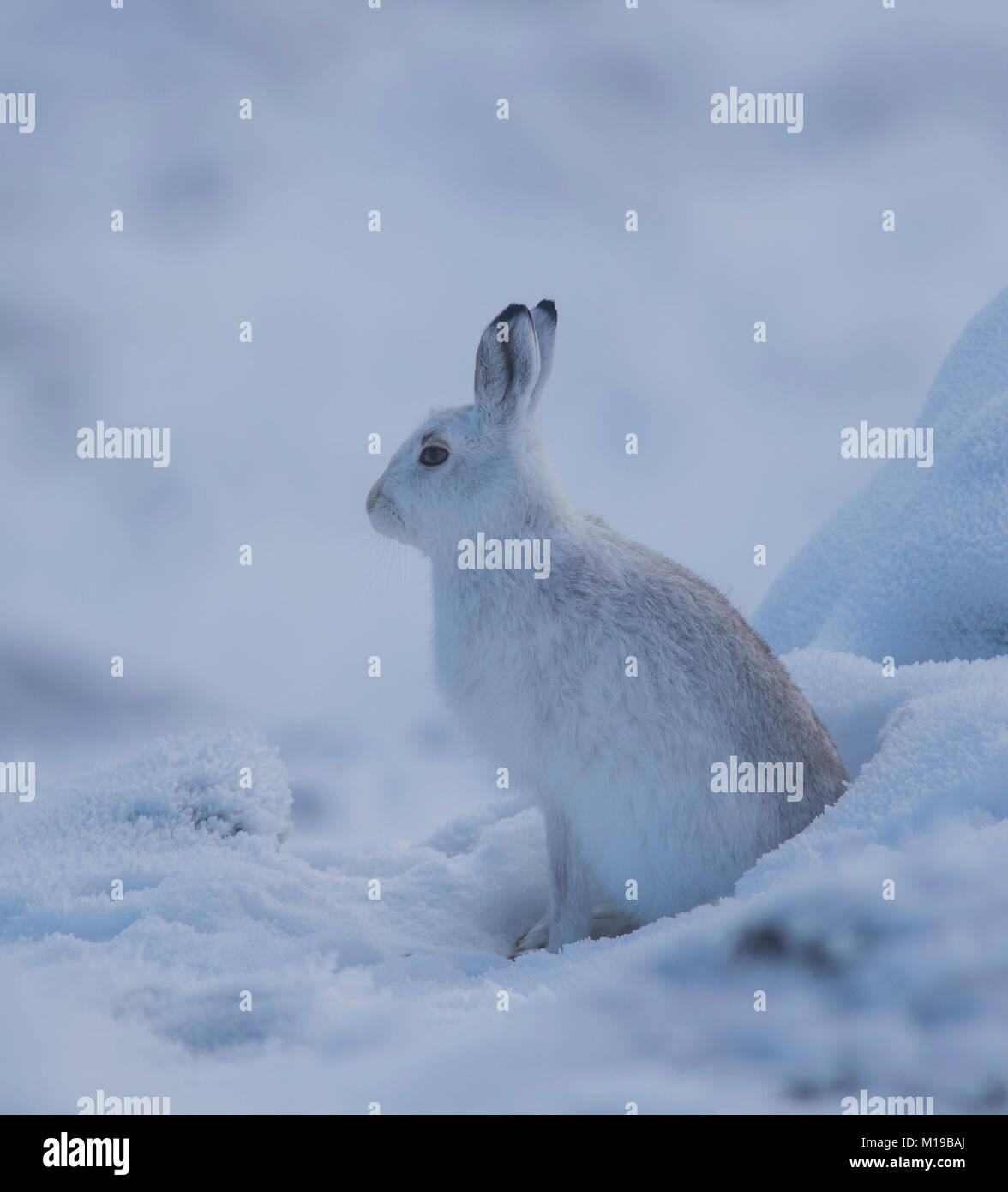 Mountain Liebre Lepus timidus en su bata blanca de invierno en la nieve sobre una montaña de Escocia. Foto de stock