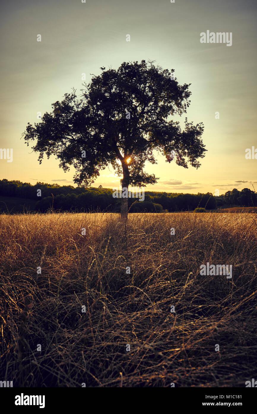 Un árbol en un campo iluminado a finales del sol del verano. Foto de stock
