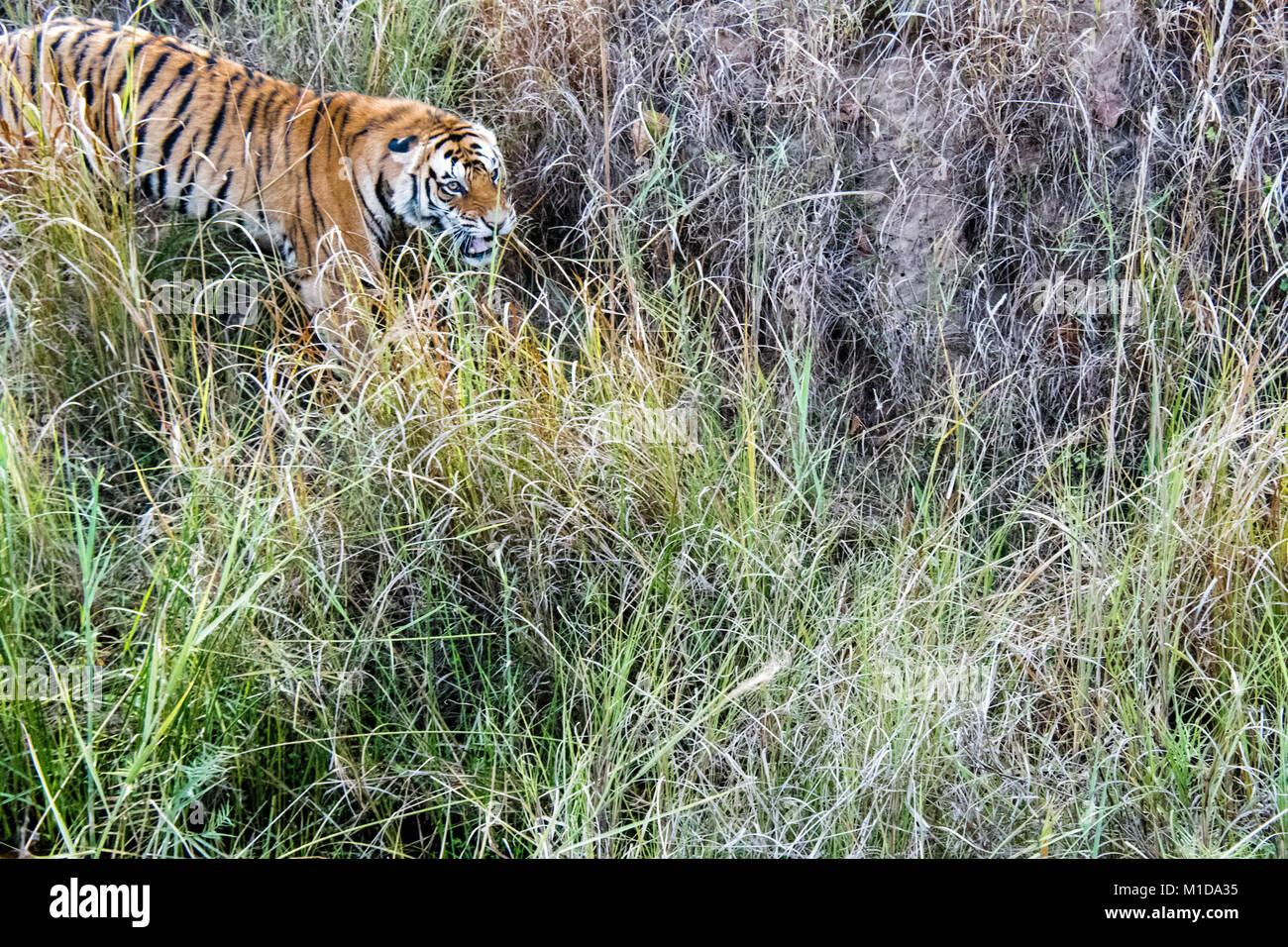 Tigre de Bengala salvajes, Panthera tigris tigris, gruñendo, atacando en Bandhavgarh reserva del tigre, Madhya Imagen De Stock