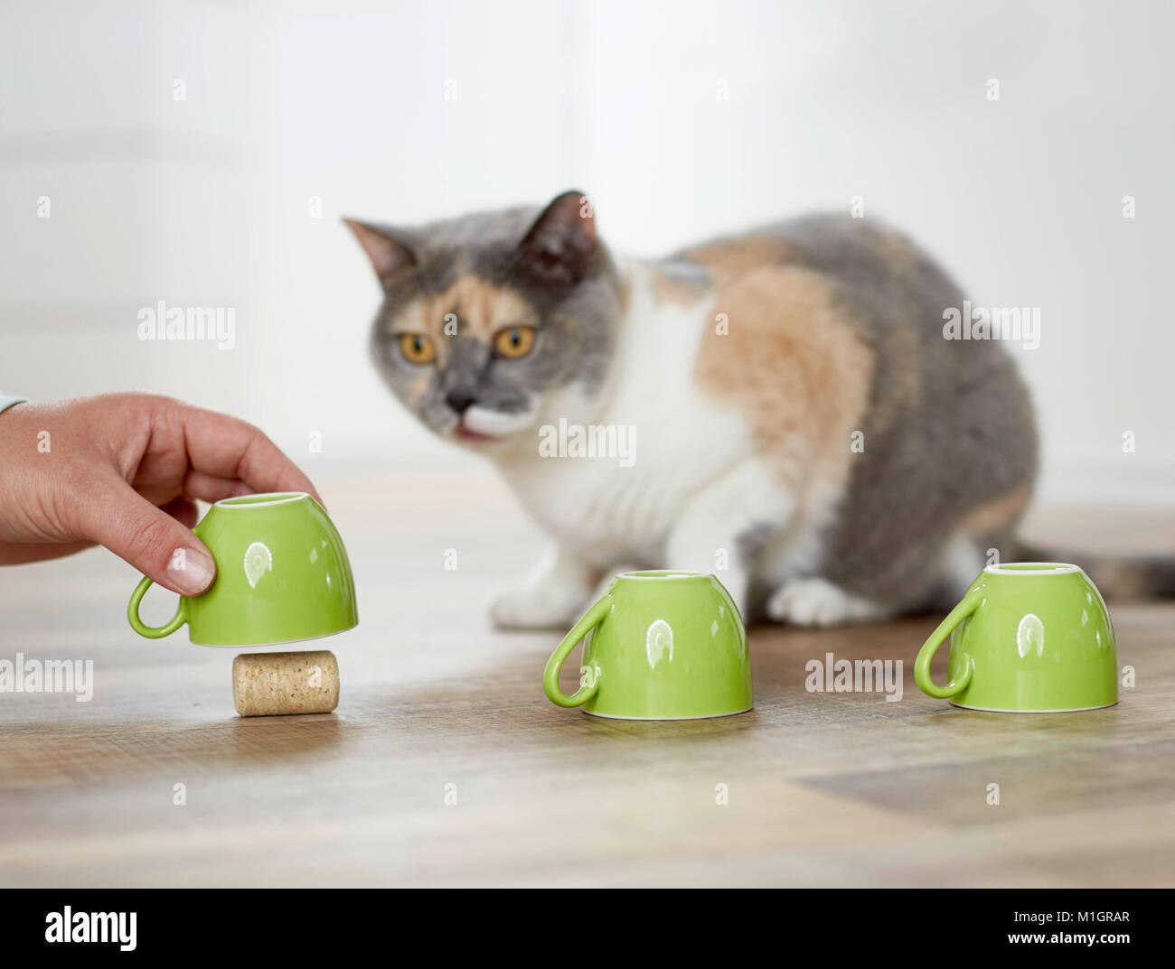 British Shorthair cat. Adultos tricolores jugando un juego de conchas. Alemania Foto de stock