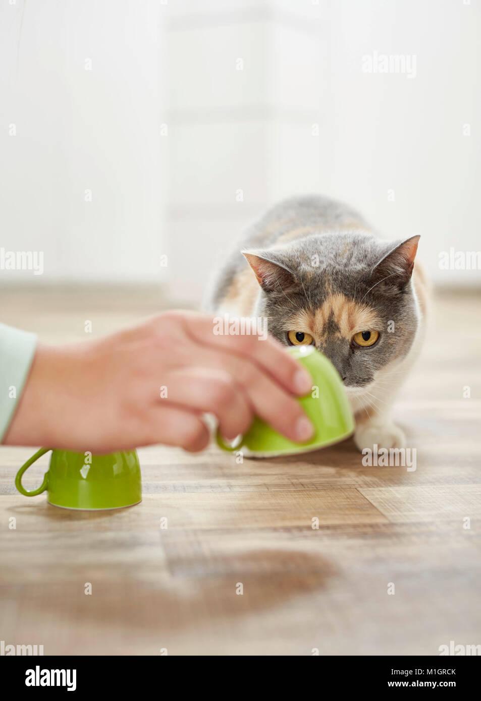 British Shorthair cat. Adultos tricolores jugando un juego de conchas. Alemania Imagen De Stock
