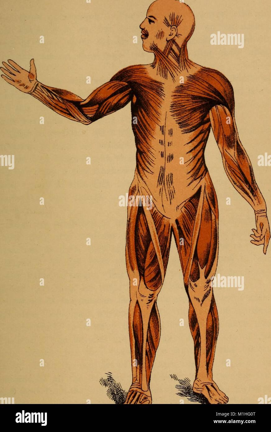 Ilustración en color del sistema muscular humano, subtitulado ...