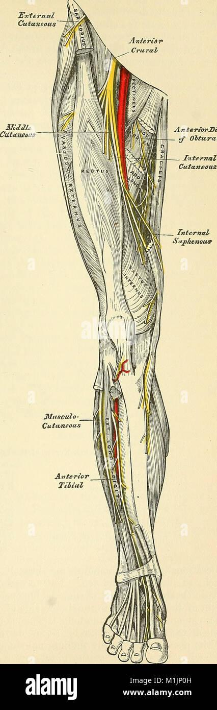 Atractivo Anatomía Descriptiva Y Quirúrgica Por Henry Gris ...