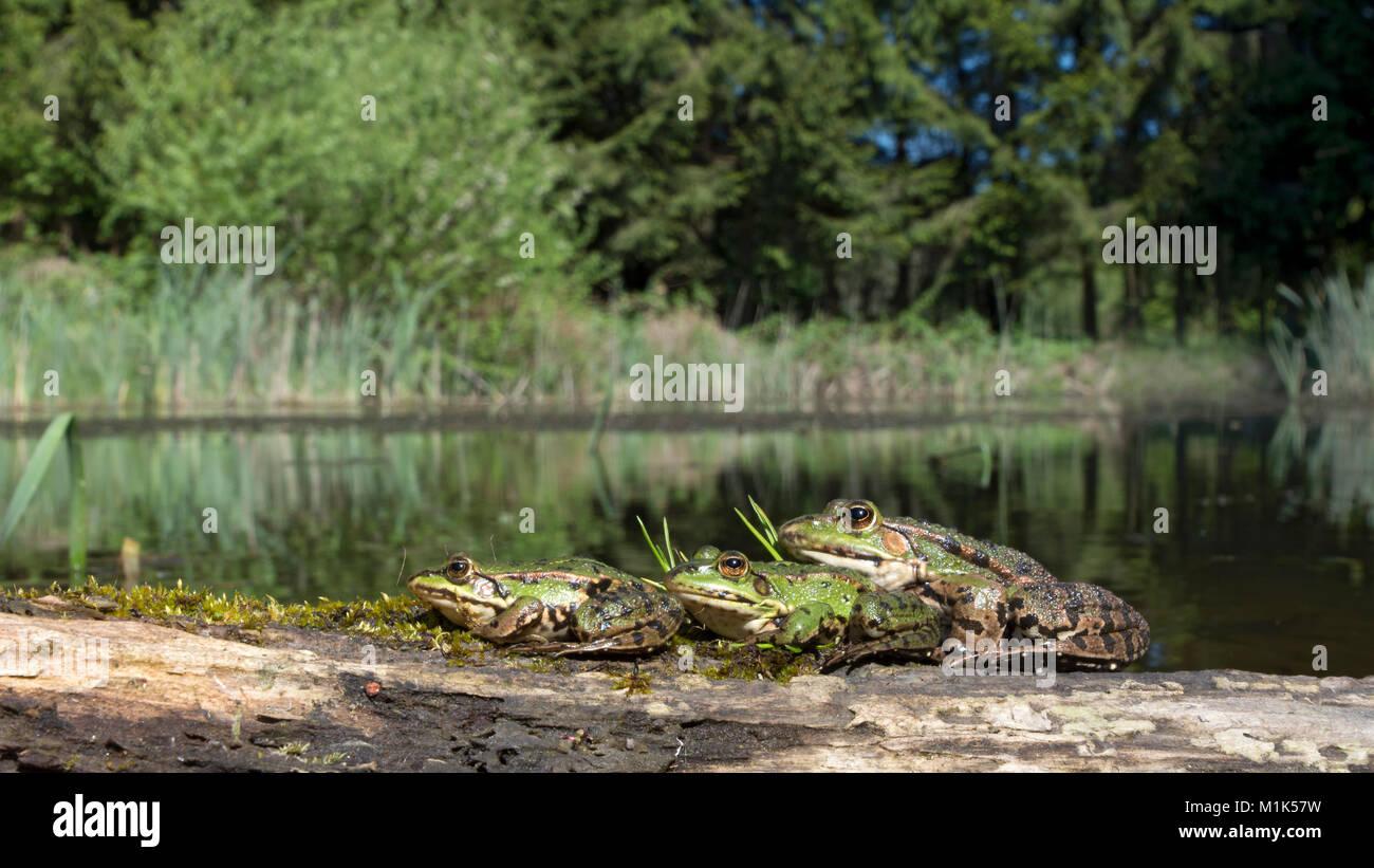 Ranas verdes (Rana esculenta) sentados en madera en un lago, Burgenland, Austria Imagen De Stock