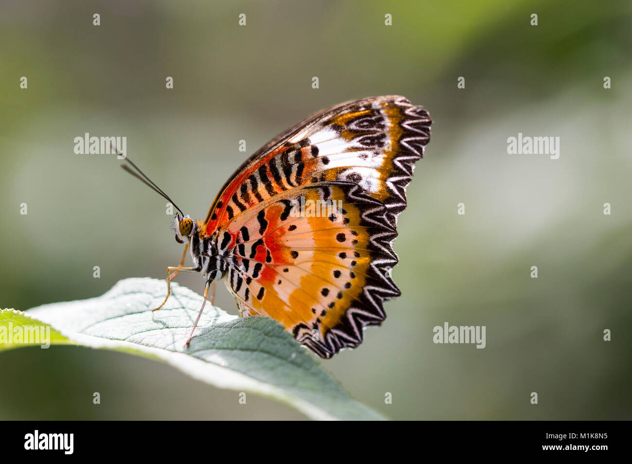 Leopard o lacewing o mariposas mariposas lacewing malaya Foto de stock
