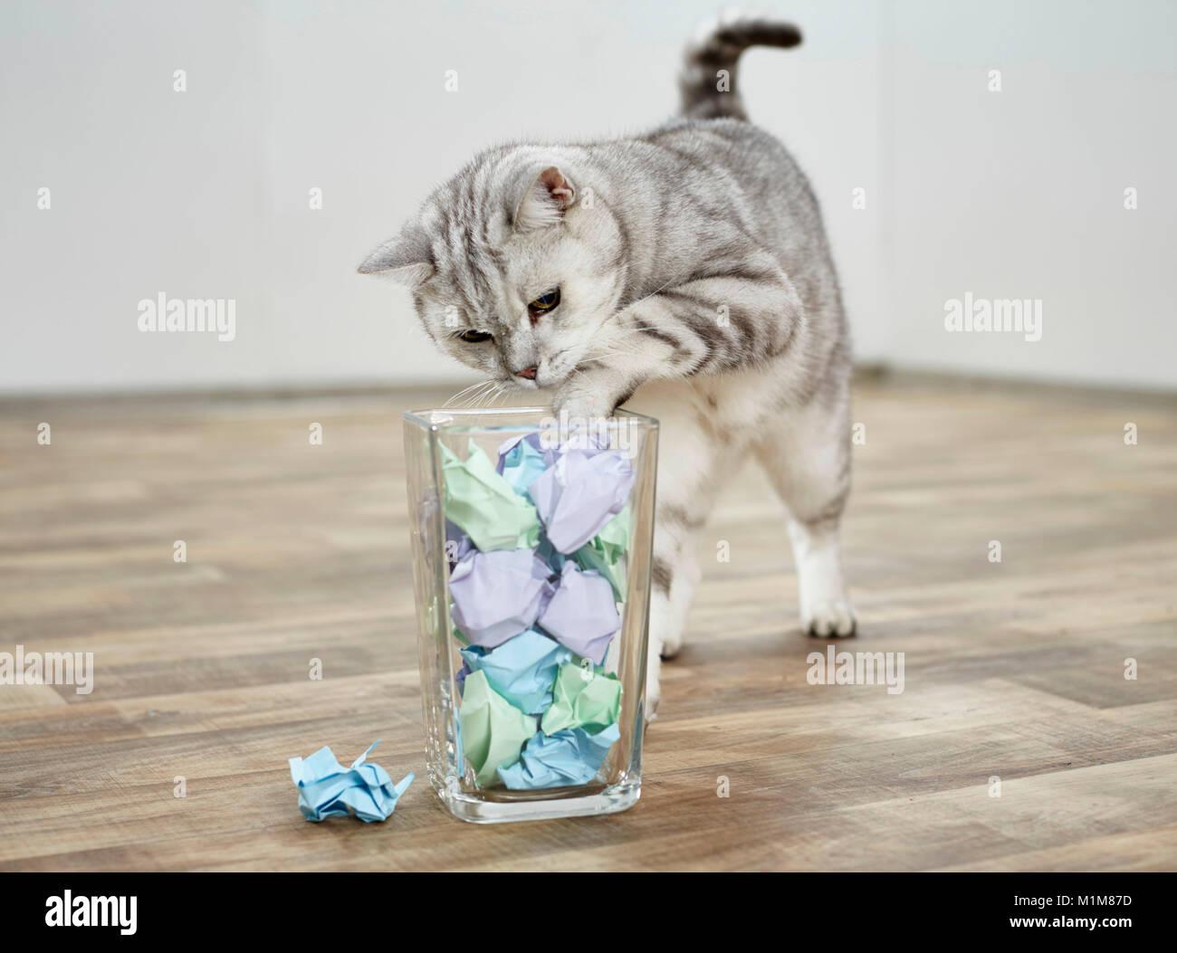 British Shorthair cat. Atigrado adulto angulable un papel desmenuzado desde un contenedor de vidrio. Alemania Imagen De Stock