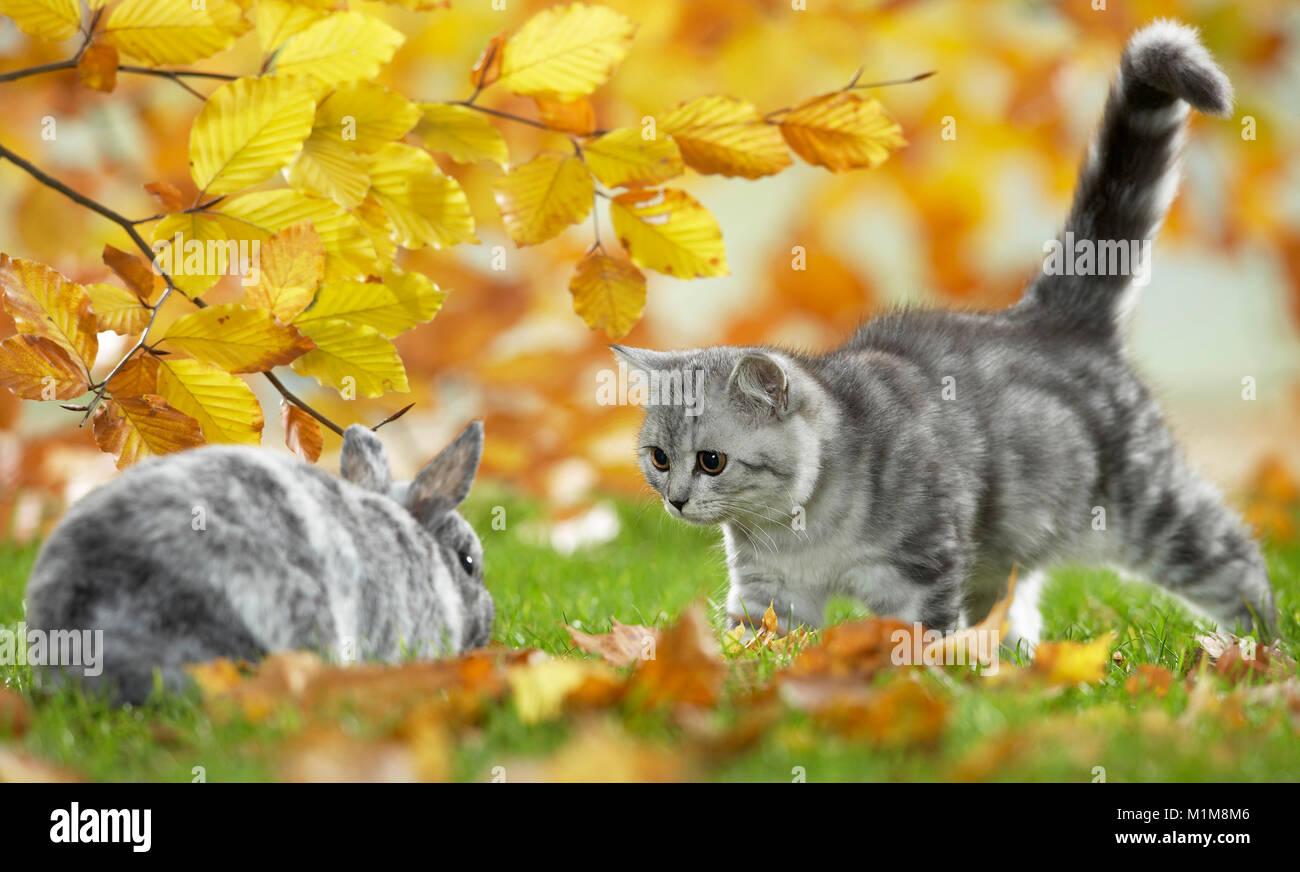 British Shorthair Gato y conejo enano. Atigrado gatito y bunny reunión en un jardín en otoño. Alemania Imagen De Stock