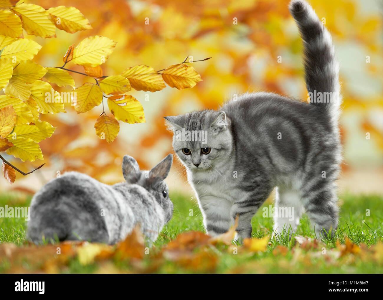 British Shorthair Gato y conejo enano. Atigrado gatito y bunny reunión en un jardín en otoño, Alemania Imagen De Stock