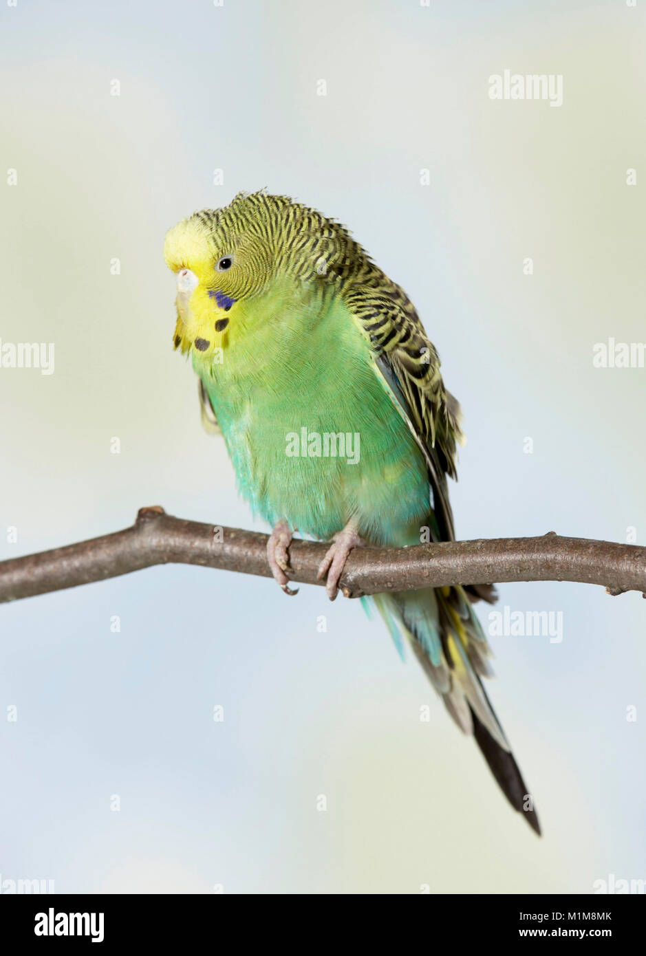 Budgericar, Budgie (Melopsittacus undulatus). Mal pájaro posado sobre un twog. Alemania Imagen De Stock