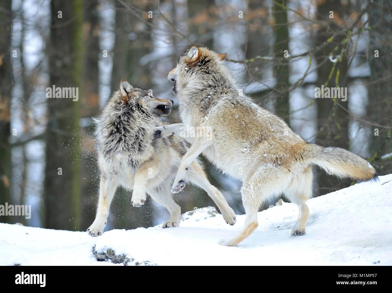 Lobo Timber Wolf Canis lupus, el lobo Canis lupus Timberwolf Foto de stock