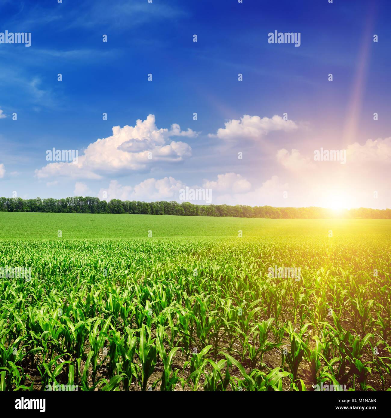 Bellos Amaneceres Sobre El Maizal Verde Foto Imagen De Stock
