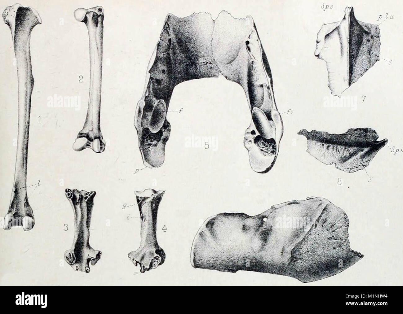 Restos subfósiles, incluyendo los huesos de la pierna, una mandíbula ...