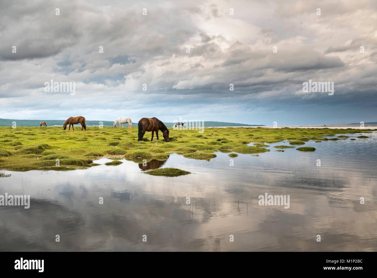 Caballos que pastan en las orillas del Lago Hovsgol, provincia Hovsgol, Mongolia, Asia Central, África Imagen De Stock
