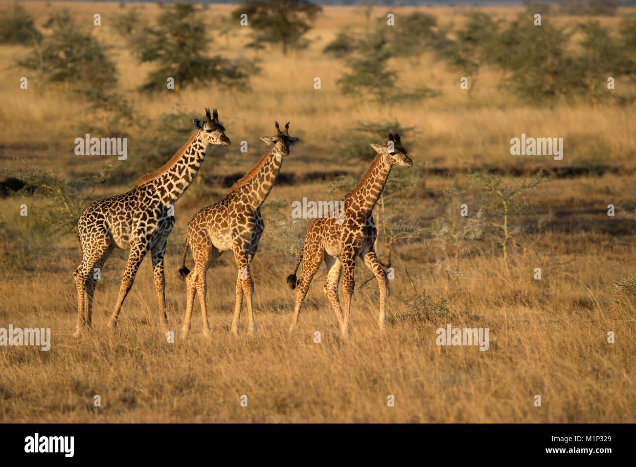 Los jóvenes jirafas (Giraffa camelopardalis), Parque Nacional de Serengueti, Tanzania, África oriental, Imagen De Stock