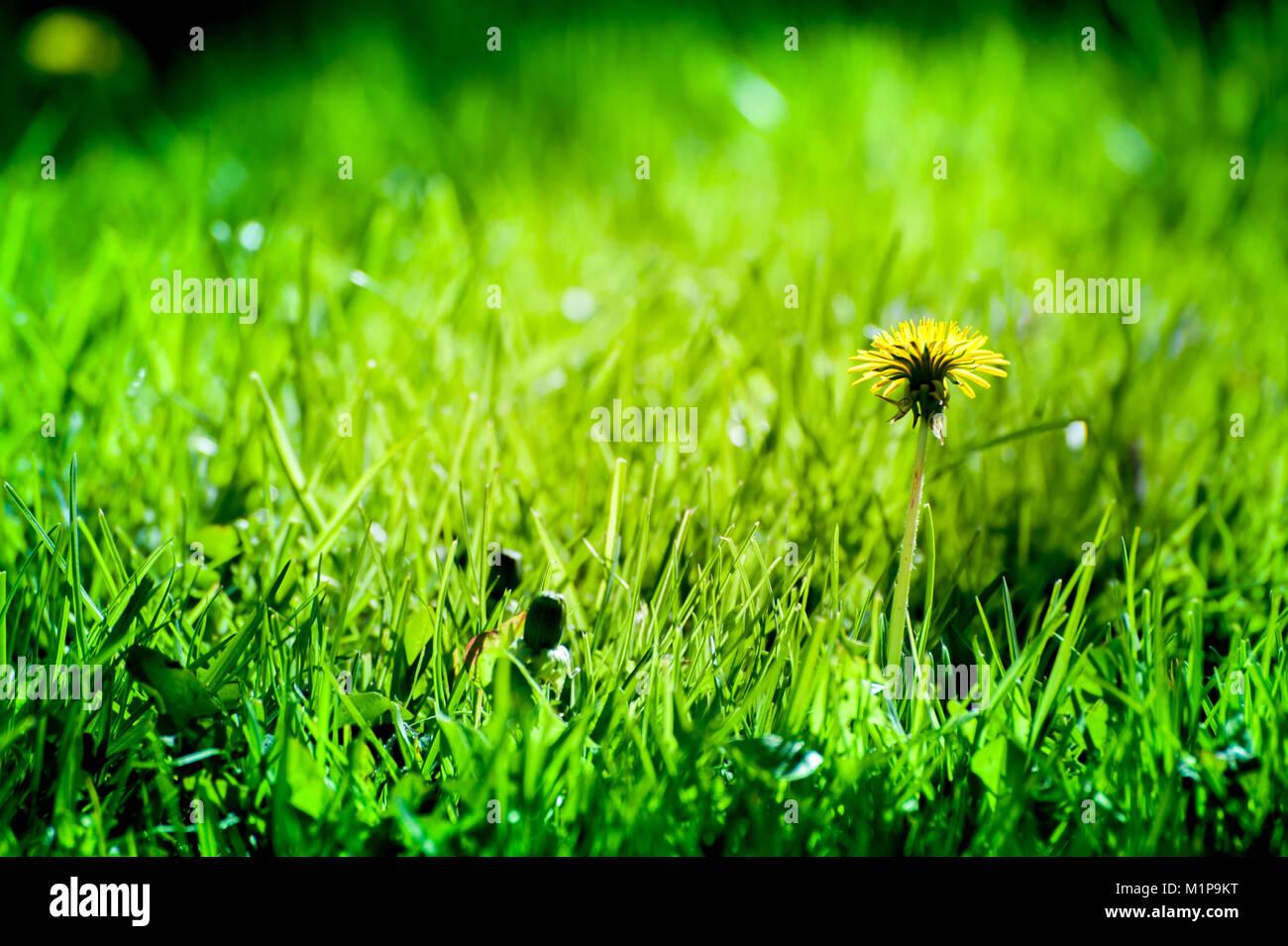 Macro shot de jaramago amarillo brillantes flores en la pradera verde en el campo a principios de verano alrededor del solsticio de verano. Las abejas buscan néctar Foto de stock