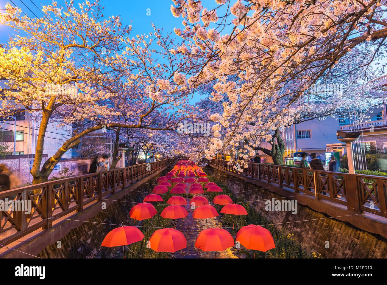 Spring Festival de la flor de la cereza en Yeojwacheon Stream en la noche, Jinhae, Corea del Sur Imagen De Stock