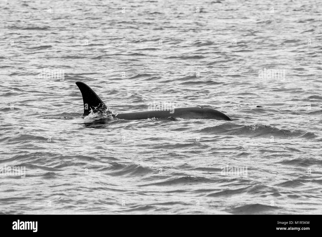 Orca en la resurrección Bay en Alaska. Foto de stock