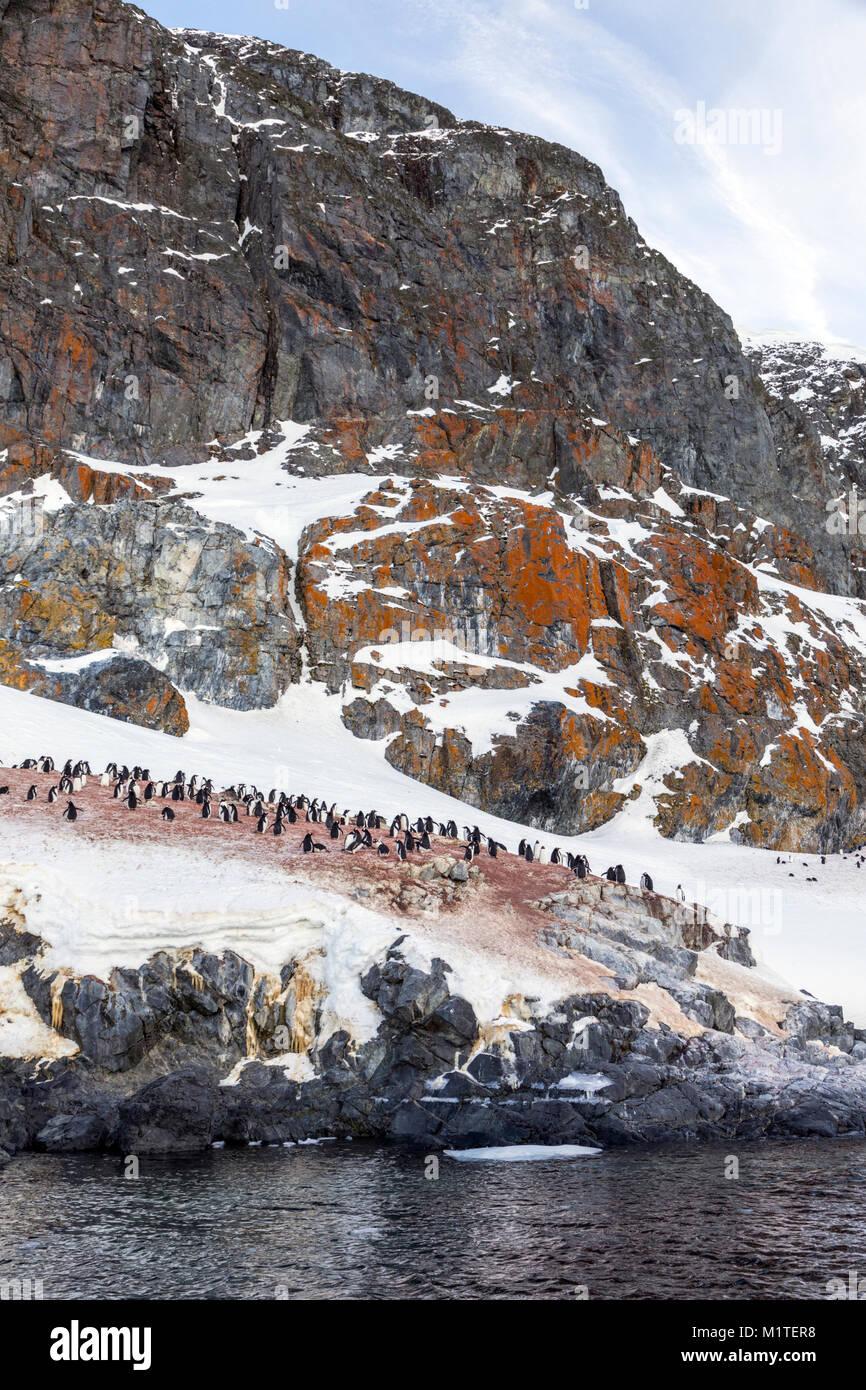 Largas colas; pingüinos Pygoscelis papua; Isla Ronge; la península Arctowski; La Antártida Imagen De Stock